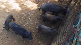 kismalac : Wild pigs Sus scrofa with young animals gather food in a zoo in a pine forest in summer Stock mozgókép