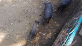 Wild pigs Sus scrofa with young animals gather food in a zoo in a pine forest in summer Stok Video