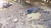 Wild pigs Sus scrofa with young animals wallow in a swamp in a zoo in a pine forest in summer