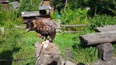 Golden Eagle Aquila chrysaetos eats from a carcass in the mountains Stok Video