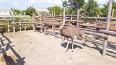 strucc : Ostriches walk behind a wooden fence of an ostrich farm in a Ukrainian village in early autumn.