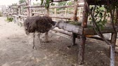 struś : Ostriches walk behind a wooden fence of an ostrich farm in a Ukrainian village in early autumn.