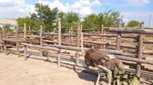 behind : Ostriches walk behind a wooden fence of an ostrich farm in a Ukrainian village in early autumn.