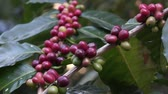 coffee tree : Cherry coffee still shot Stock Footage