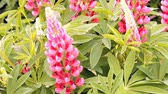 plant fertilizer : pink flowers, lupine in the sunny summer day