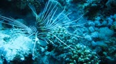 teeth : lionfish is sitting on the sand bottom, around the corals, coral reef, ocean floor.