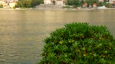 hustý : Shrubs and trees Pittosporum in Montenegro. Landscaping design of the hotel.