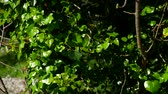 vertical growth : Trees overgrown with ivy. Texture of wild plants in the forest. Stock Footage