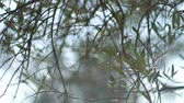 soft fruits : Olive branch with leaves close-up. Olive groves and gardens in Montenegro. Stock Footage