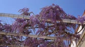 šplhat : Flowering tree wisteria in Montenegro, the Adriatic and the Balkans.