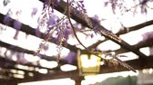 wisteria : Vintage Lantern in blooming wisteria in Montenegro. Stock Footage