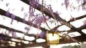 vivid wall : Vintage Lantern in blooming wisteria in Montenegro. Stock Footage