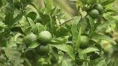 мандарин : Green mandarins on a tree. Unripe tangerine. Montenegrin mandarin trees. Home tangerine garden. A lot of fruit on the tree. Not yet ripe. Стоковые видеозаписи