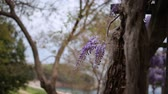 wisteria : Flowering tree wisteria in Montenegro, the Adriatic and the Balkans.