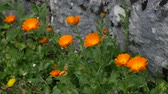 officinalis : Flowers Calendula officinalis on the flowerbed near the house. Flora of Montenegro.