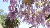 wysteria : Flowering tree wisteria in Montenegro, the Adriatic and the Balkans.