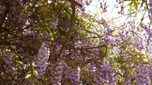 eudicots : Flowering tree wisteria in Montenegro, the Adriatic and the Balkans.