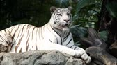 zoo : White Bengal Tiger
