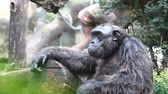 zoo : Two chimpanzee siting together Stock Footage