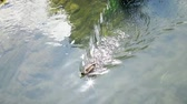 Duck filled river in Ebermanstadt, Germany. Swimming, shining and getting cleaned. Стоковые видеозаписи