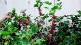 verificar : Checking on red currant in the backyard. A well known process done fine