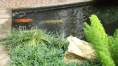 zen like : Variety carps swimming in garden pond, stock video Stock Footage