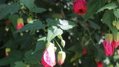 fechar se : Red flower blossom in the garden, stock footage