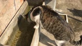 Cat having some water from water container, stock footage