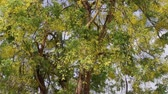 Golden shower or Cassia fistula flower in the garden, stock footage