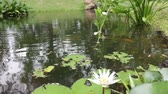 タイの : Water lilly flower in small pond, stock footage