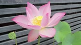 Lotus flower is blooming in the early summer, stock footage Vídeos