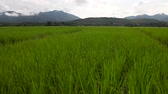 Green Terraced Rice Field 動画素材