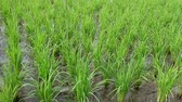Seedlings of rice 動画素材