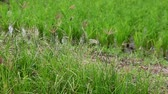 sprossen : Green  Rice Field close-up Stock Footage