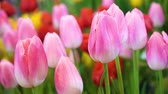 tulipany : Close up beautiful pink tulip flowers, Fresh nature flowers and wind blowing.