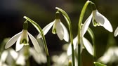 pár : Few Young Snowdrops Swaying in the Wind. Macro Shooting.