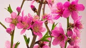 tomurcukları : Pink Flowers Blossoms on the Branches Cherry Tree. Timelapse.