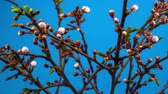 brzoskwinia : White Flowers Blossoms on the Branches Cherry Tree. Blue Background. Timelapse.