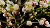 pêssego : White Flowers Blossoms on the Branches Cherry Tree. Dark Background. Timelapse.