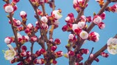 pêssego : White Flowers Blossoms on the Branches Cherry Tree. Blue Background. Timelapse.