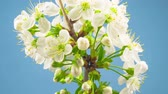 virágzik : White Flowers Blossoms on the Branches Cherry Tree. Blue Background. Timelapse.