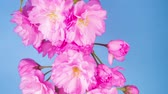 evolúció : Pink Flowers Blossoms on the Branches Sakura Tree. Blue Background. Timelapse.