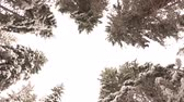 rüzgârla oluşan kar yığını : View from Below up to the Snow-Covered Branches of Pine Trees in the Winter Forest in the Mountains. Rotates.