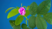 Timelapse of Dogrose Flower Blooming on Blue Background. Стоковые видеозаписи