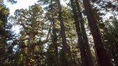 ladrão : Time lapse footage with pan left motion of Giant Sequoia grove with morning sun ray at Mariposa Grove in Yosemite National Park Stock Footage