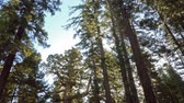 ladrão : Time lapse footage of Giant Sequoia grove with morning sun ray at Mariposa Grove in Yosemite National Park Stock Footage