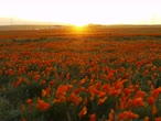 in full bloom : 4K Time lapse footage of wild flower at full bloom with sunset in California Poppy Reserve in Antelope Valley