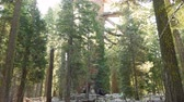 ladrão : 4K Time lapse footage of Giant Sequoia grove with morning sun ray at Mariposa Grove in Yosemite National Park