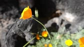 in full bloom : California Wild Flowers Poppy Close Up Stock Footage