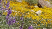 in full bloom : California Wild Flowers